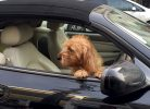 Amber in the Jag - Visiting London with a dog