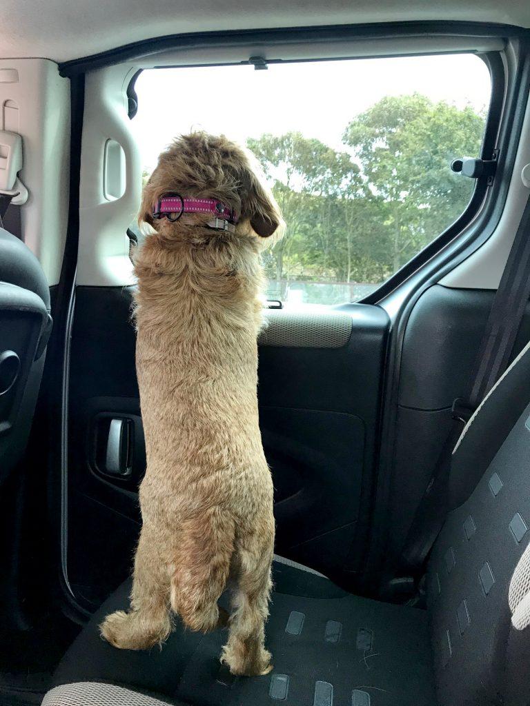 Dog looking outside a car window